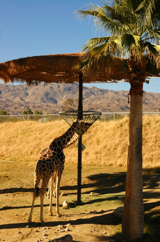 Giraffes in their natural habitat