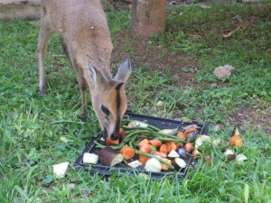 The Duiker eating after we changed her bandages