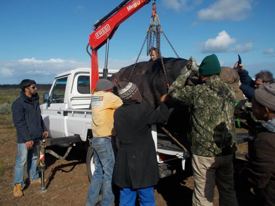 Lifting Buffalo for transport